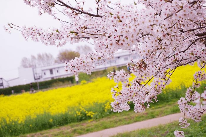 150405_sakura_01