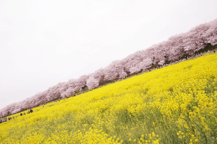 150405_sakura_06