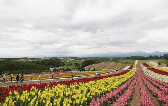 """2015年7月 富良野旅行1日目 丘に咲いてるお花が奇麗な""""四季彩の丘"""""""