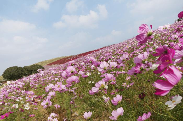 151111_kosumosu_06