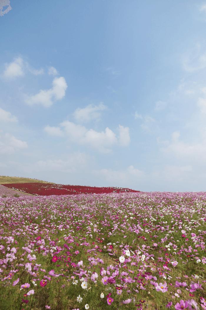 151111_kosumosu_08
