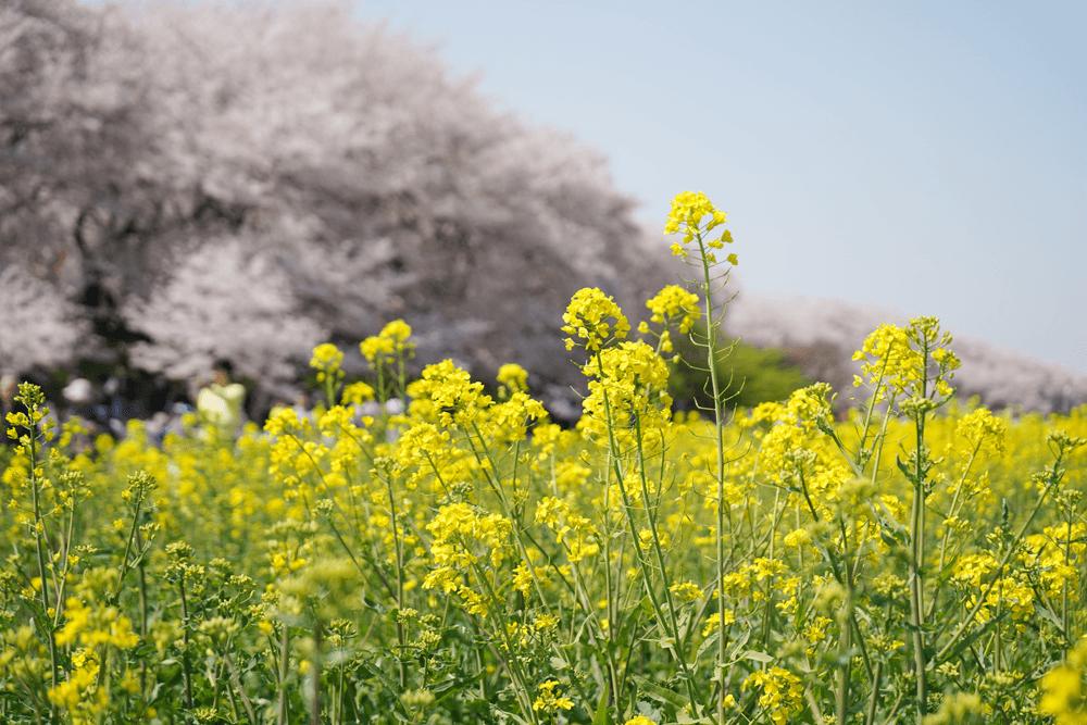 2018年 幸手桜祭に行ってきました。行き方は電車電車+歩きがオススメ。