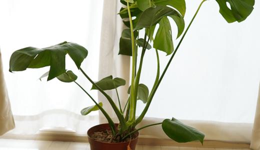モンステラの植物はズボラ人間でも育てやすい
