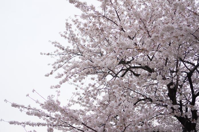 130328_sakura_04.jpg