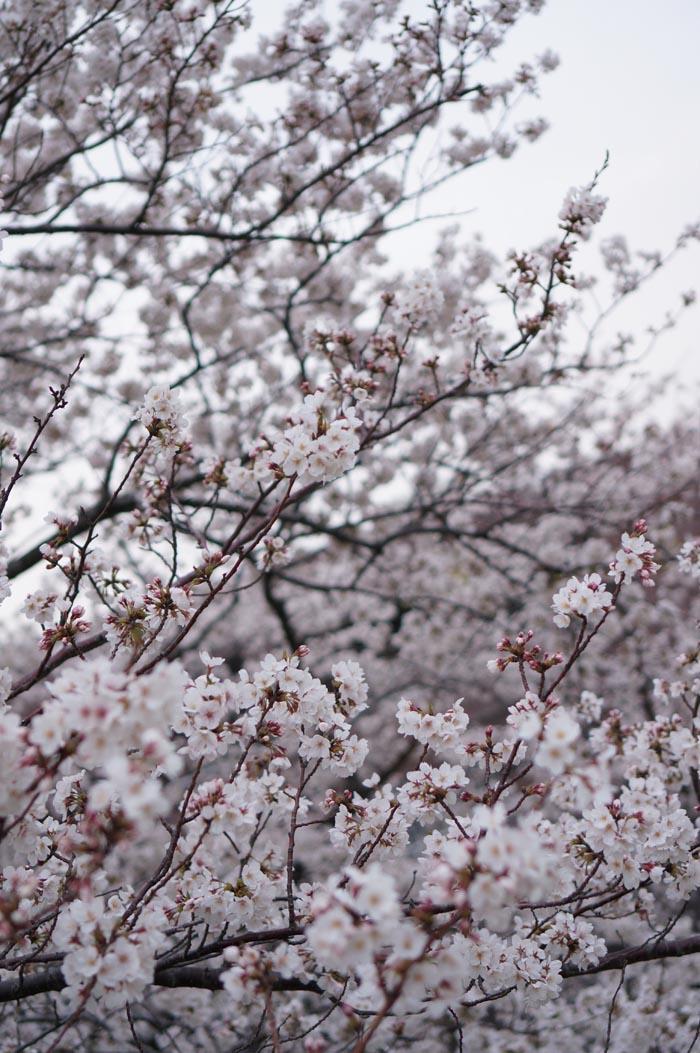 130328_sakura_06.jpg